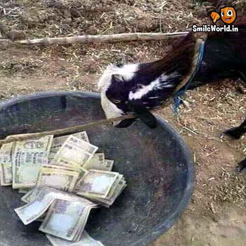 Goat Eating 500 and 1000 Rupee Notes Funny Photo